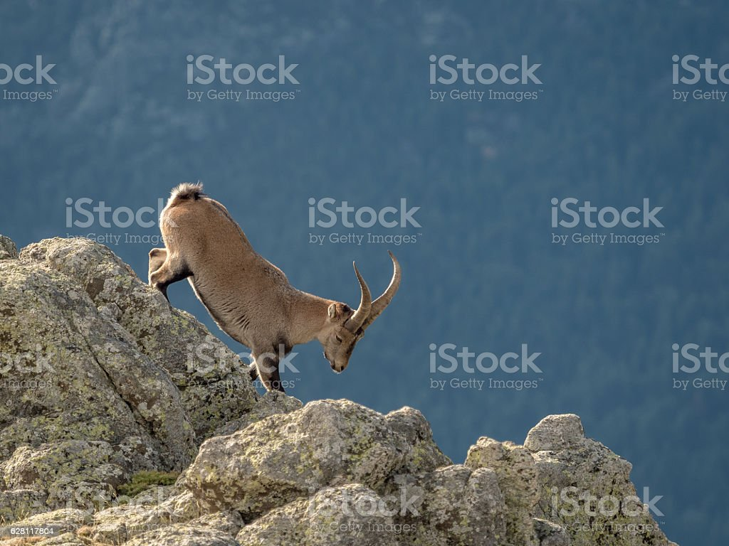 Alpine ibex male walking on the summit of the mountain stock photo