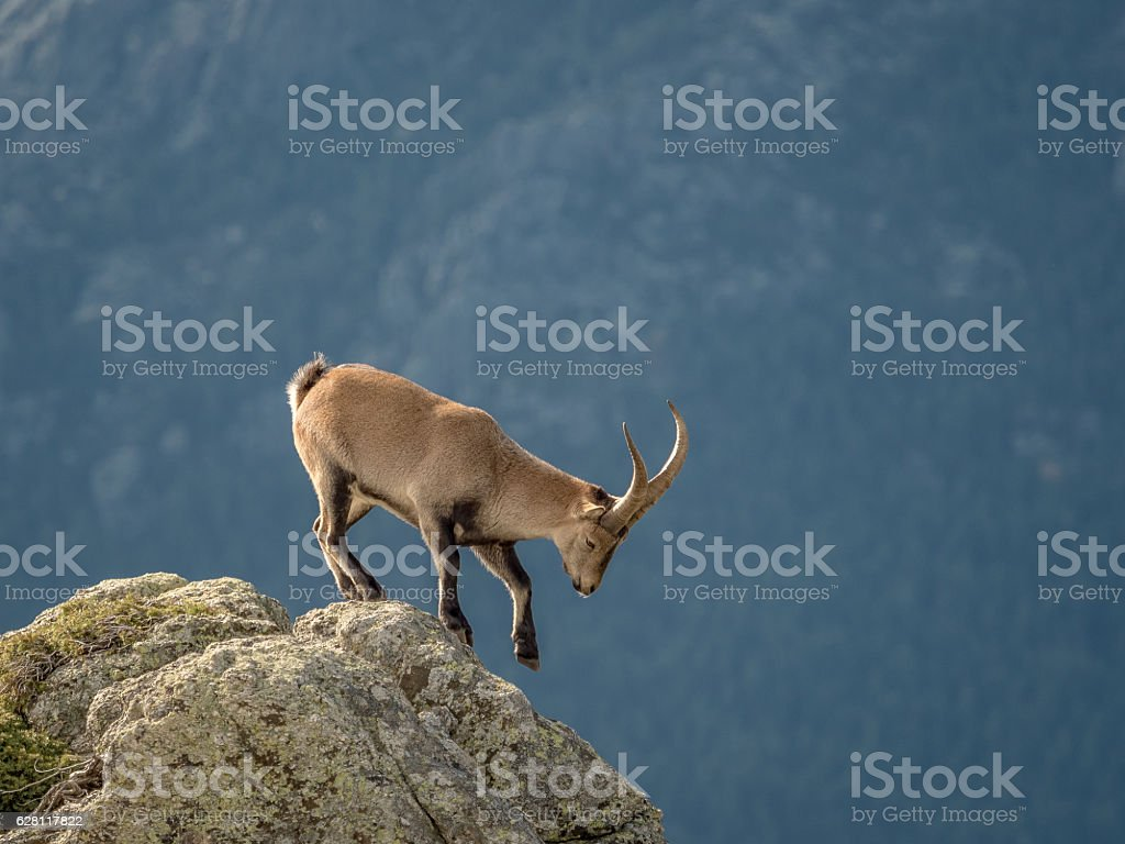 Alpine ibex male walking on the summit of the mountain stock photo