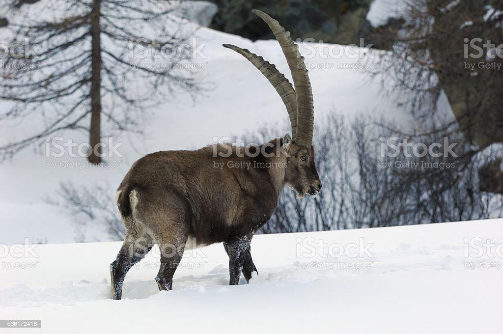 Alpine Ibex or Steinbock in the snow stock photo