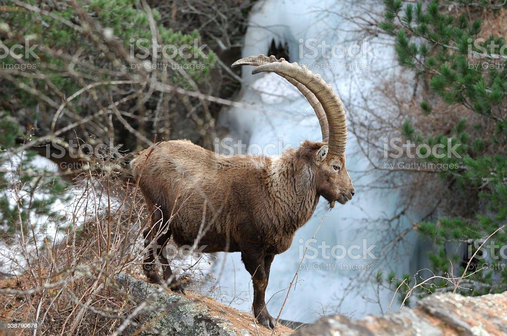 Alpine ibex or Steinbock stock photo