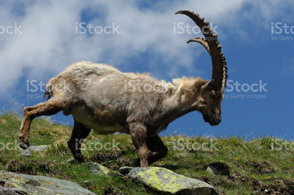Alpine ibex or Steinbock (Capra ibex) stock photo