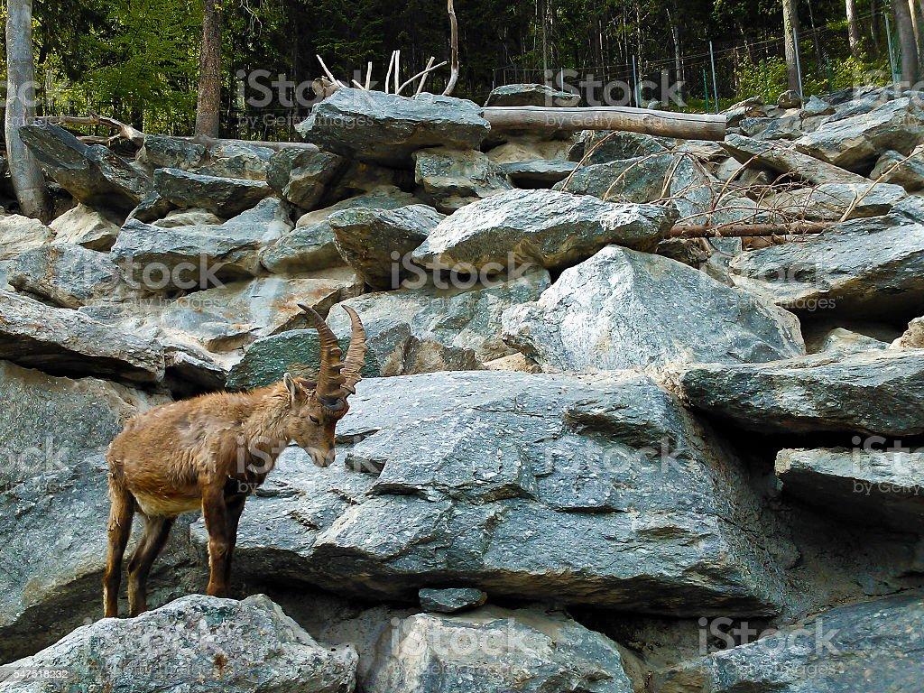 Alpine Ibex (capra) stock photo