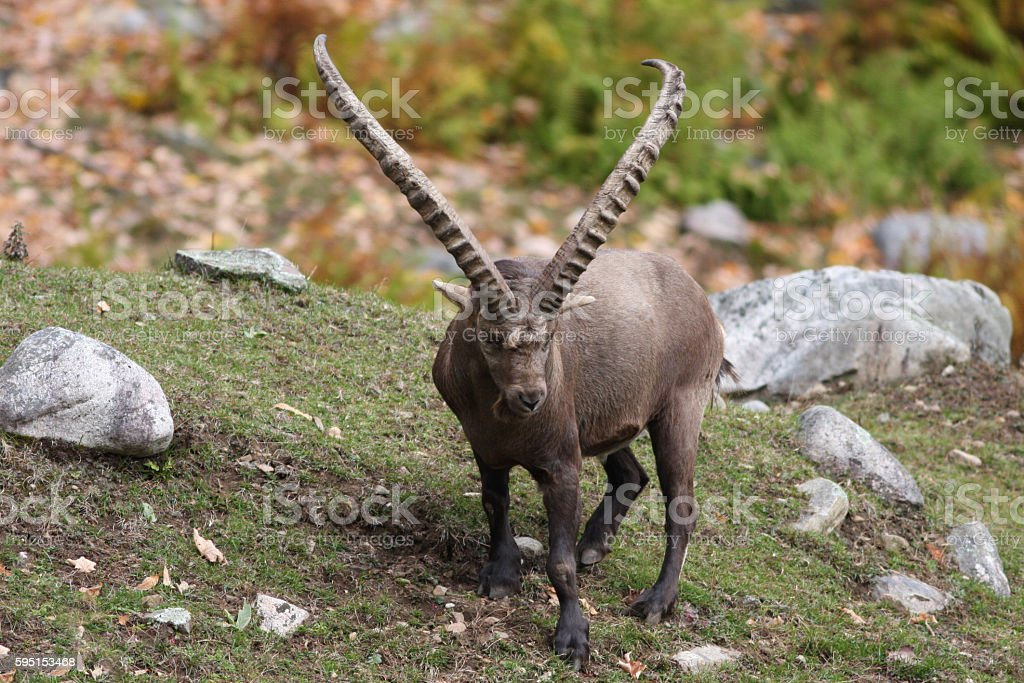 Alpine Ibex stock photo