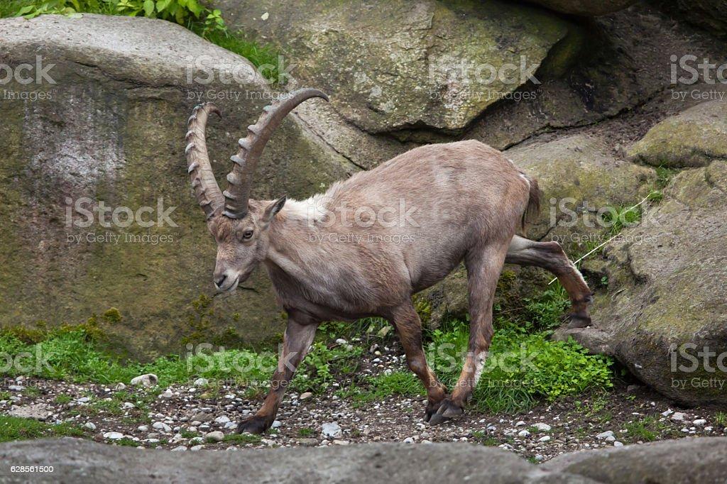 Alpine ibex (Capra ibex ibex). stock photo