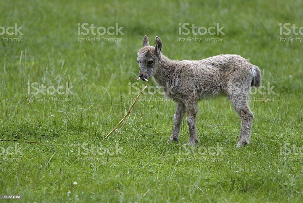 Alpine Ibex royalty-free stock photo