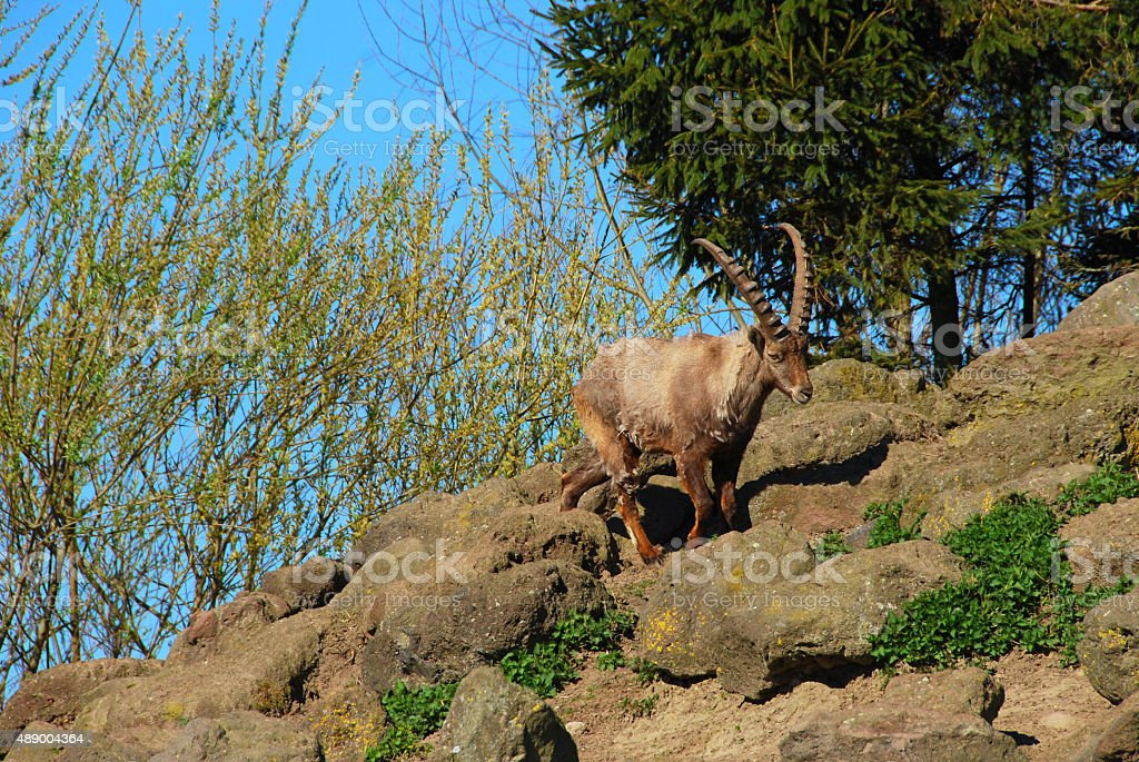 Alpine Ibex standing between the rocks on a hill. stock photo