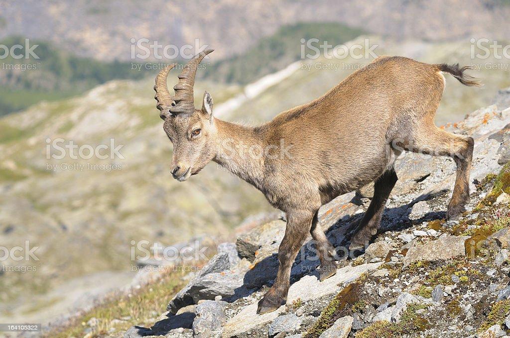 Alpine ibex - Steinbock royalty-free stock photo