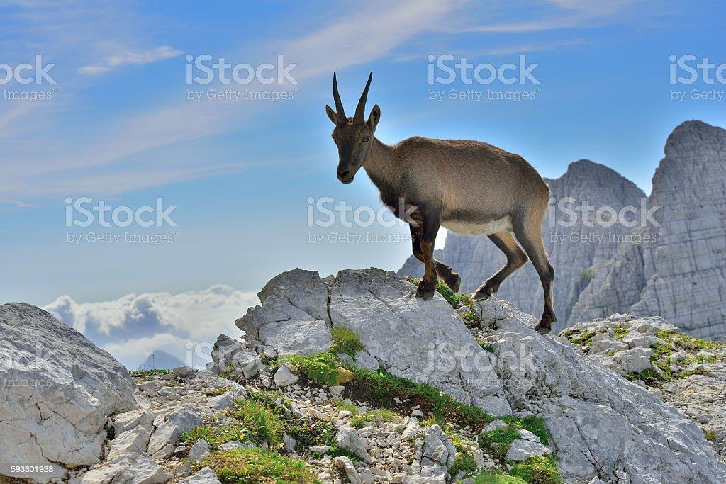 Alpine ibex (Cima di Terra Rossa 2420m) Tarvisio /Italy stock photo
