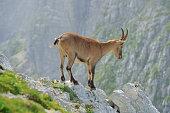 Alpine ibex (Cima di Terra Rossa 2420m) Tarvisio /Italy