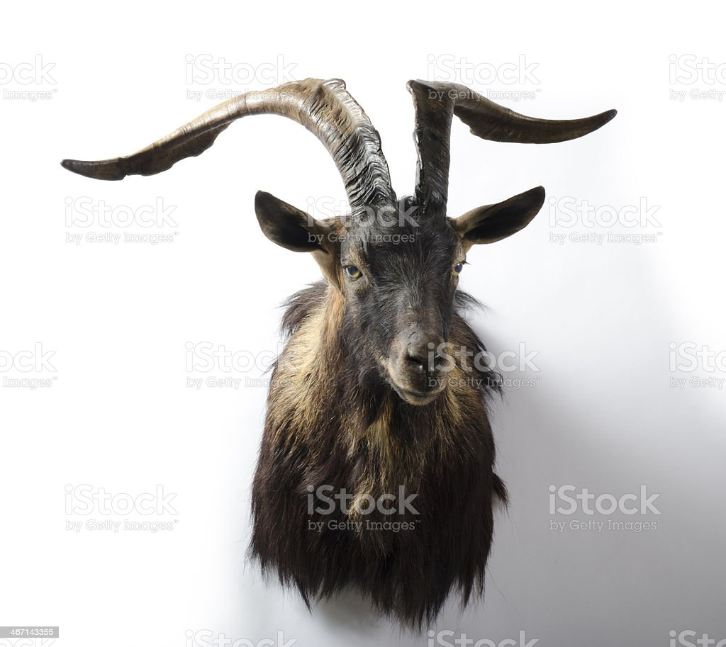 Alpine Ibex Trophy Head Mount royalty-free stock photo