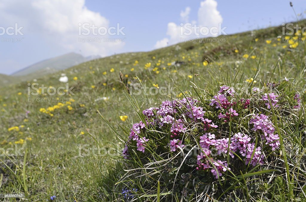 Alpine landscape with flowers in the foreground royalty-free stock photo