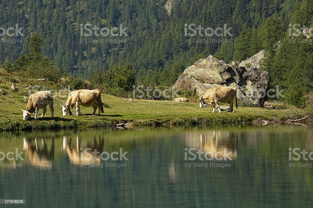 Alpine landscape with lake and cows royalty-free stock photo