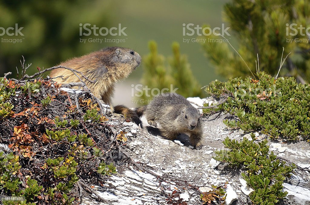 Alpine marmot and its young stock photo