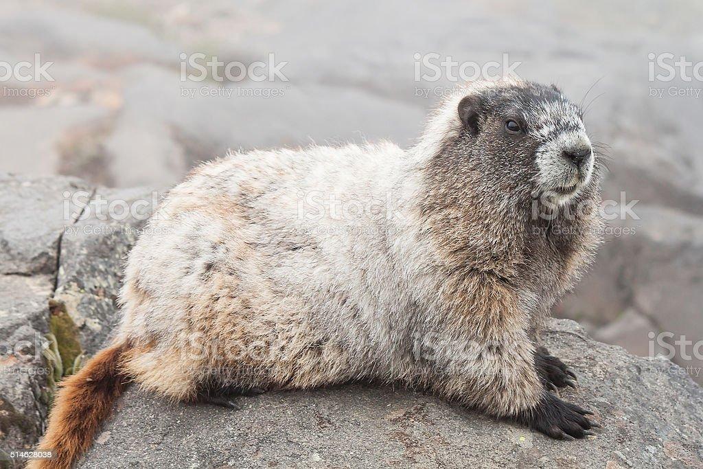 Alpine Marmot, Mt. Rainier National Park, Washington, US stock photo