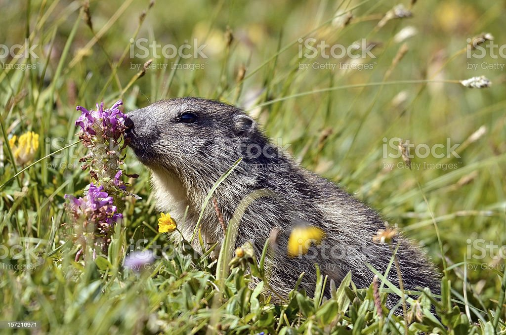 Alpine marmot near flower stock photo