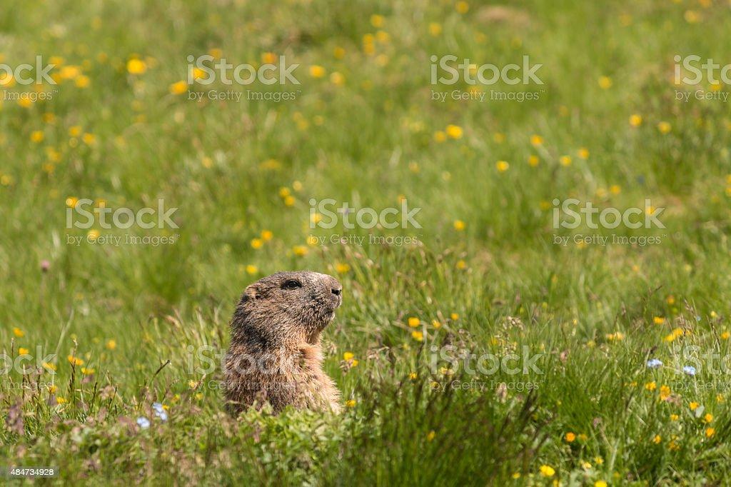 alpine marmot on meadow stock photo