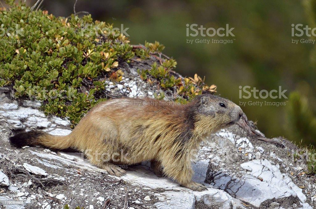 Alpine marmot on rock stock photo