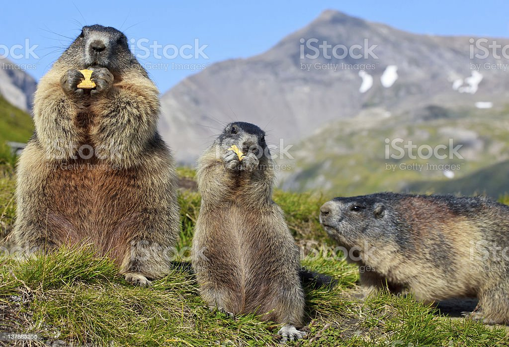 Alpine Marmot (Marmota) stock photo