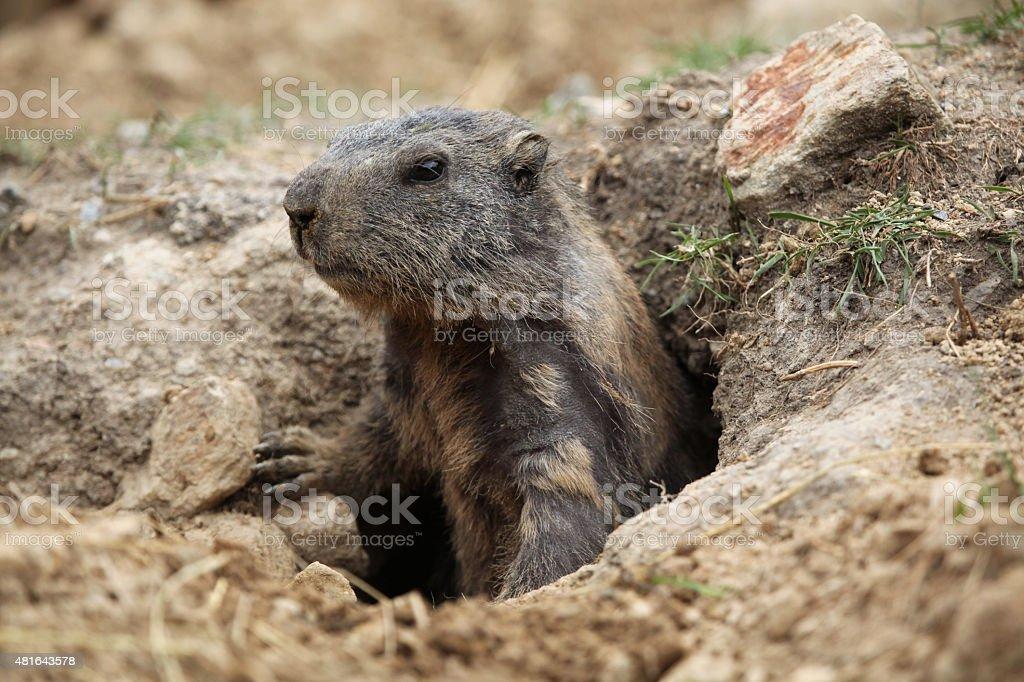 Alpine marmot (Marmota marmota). stock photo