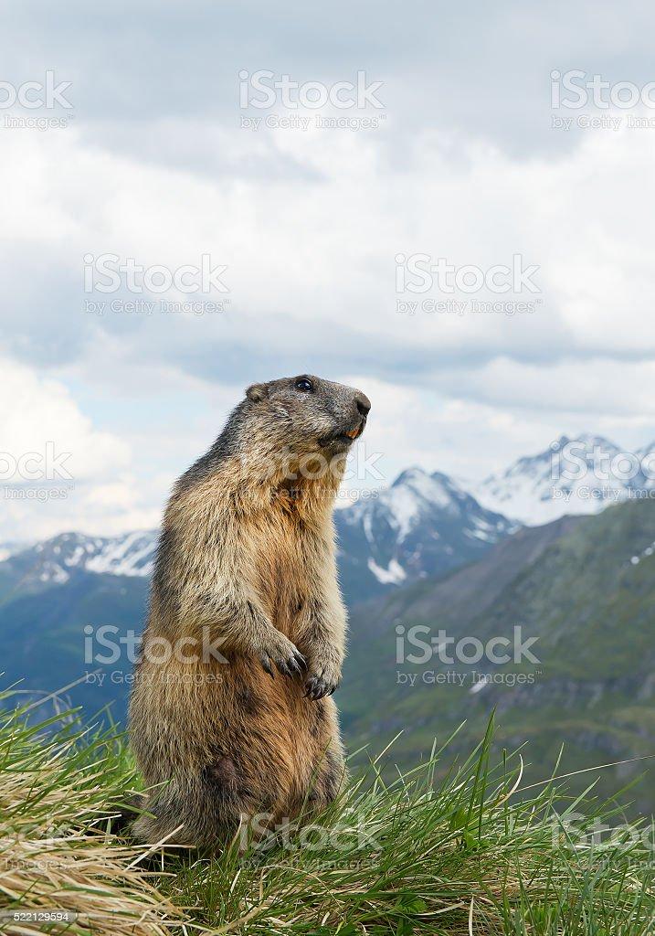 Alpine marmot standingin the grass stock photo