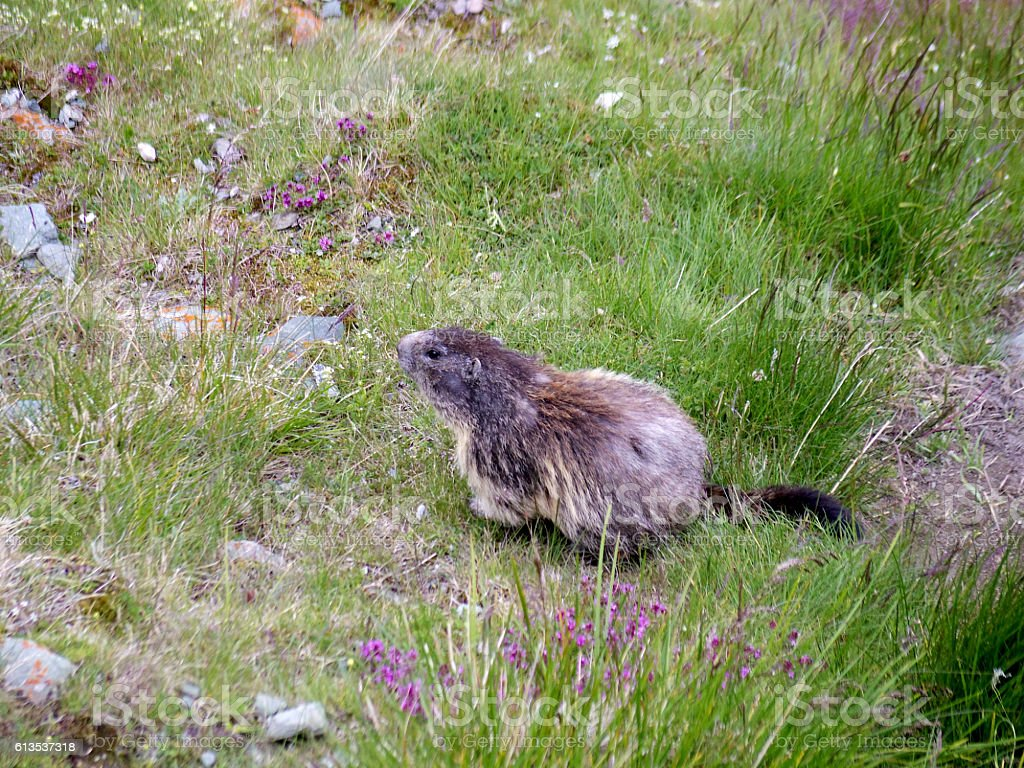 alpine marmot wildlife animal around European alps stock photo