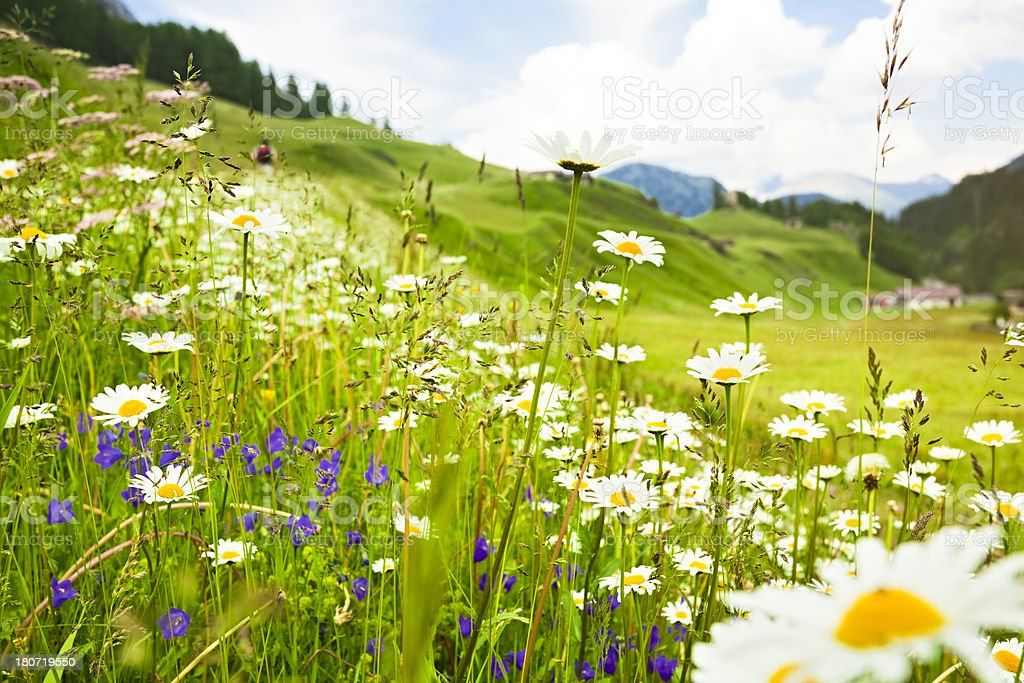 Alpine meadow blooming stock photo