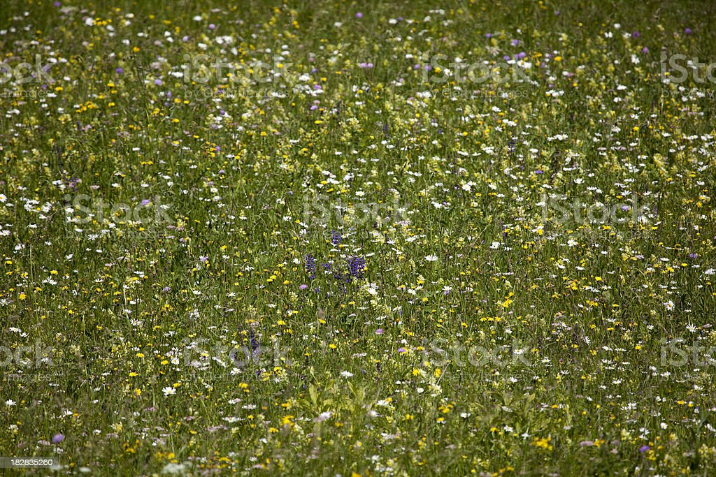 Alpine Meadow Flowers in Summer, Italian Alps royalty-free stock photo