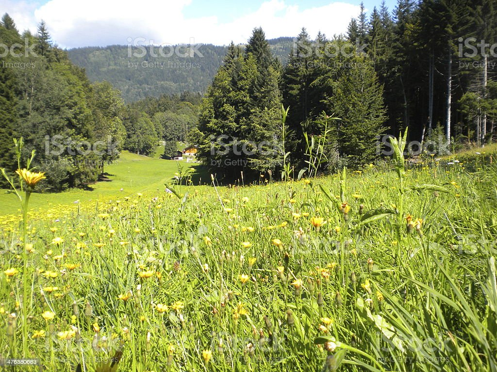 alpine meadow in summer stock photo