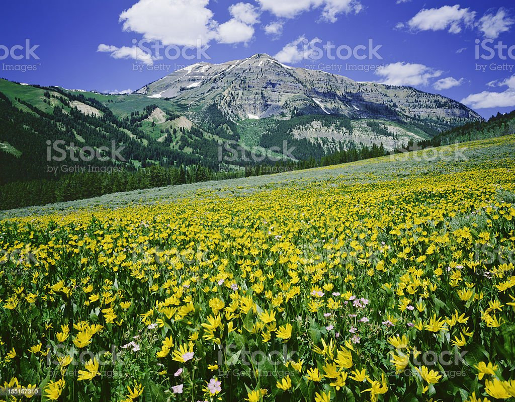 Alpine Meadow In Wyoming stock photo