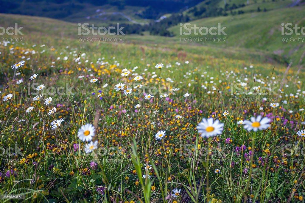 Alpine Meadow pasture. stock photo