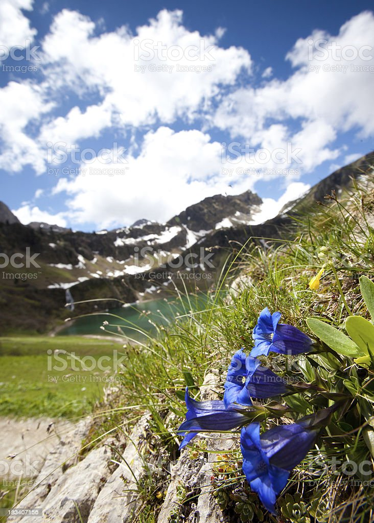 alpine meadow with enzian on forground, tirol, austria, alps royalty-free stock photo