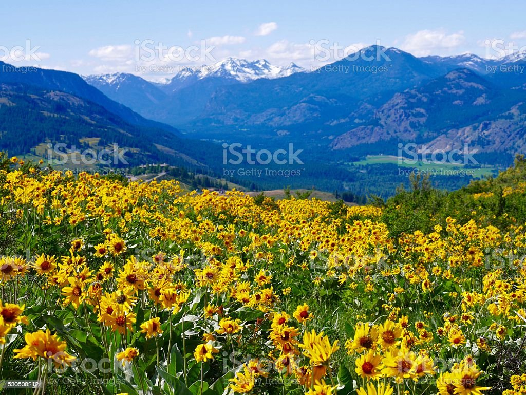 Alpine Meadows Filled with Wild Flowers and Snow Capped Mountains. stock photo