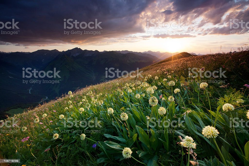alpine meadows with ramson stock photo