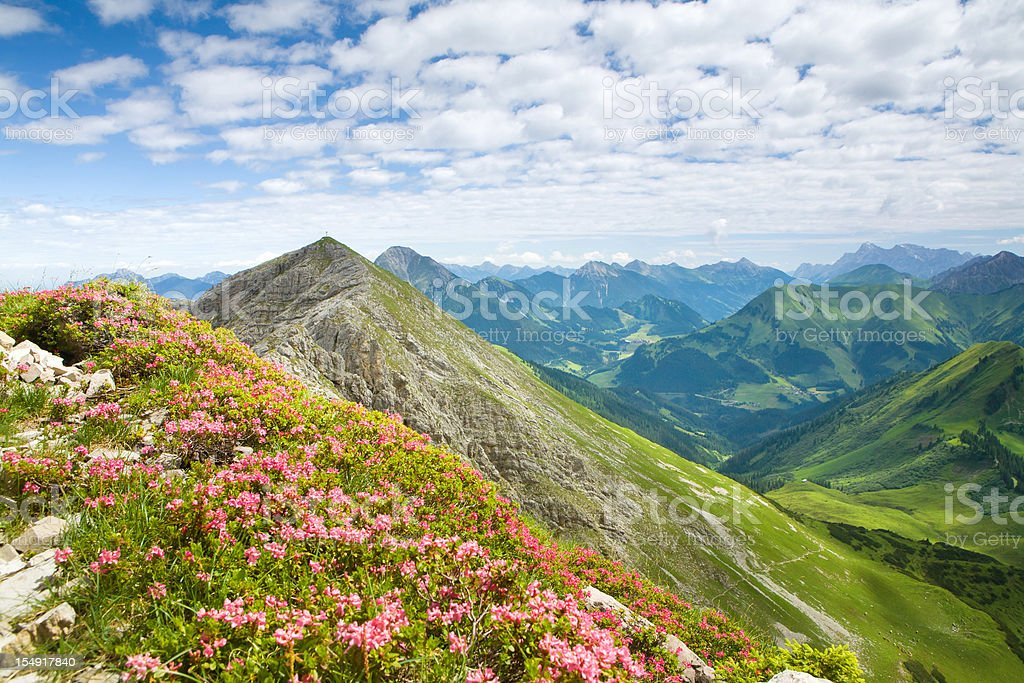 alpine mountain azalea in tirol - austria royalty-free stock photo