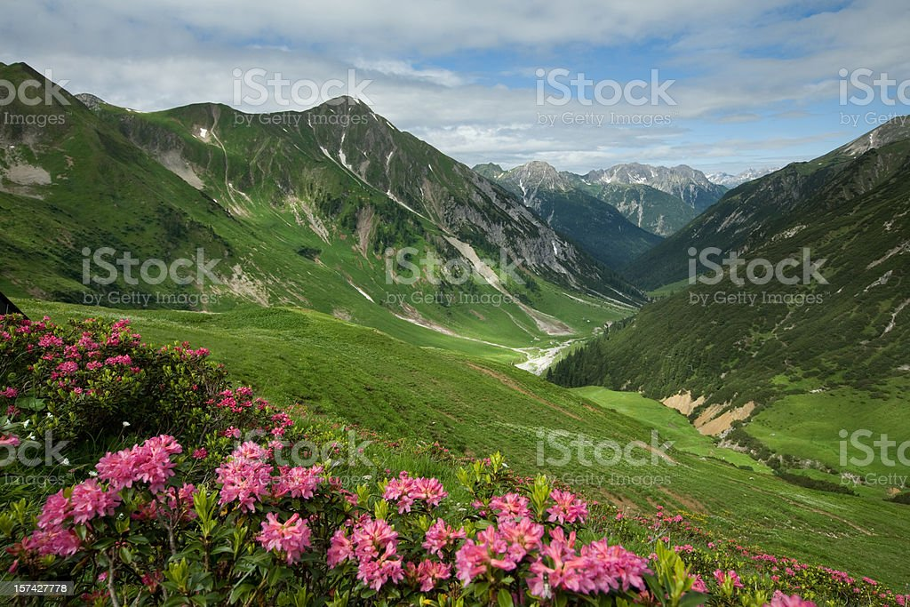 alpine mountain azalea in tirol - austria royalty-free stock photo