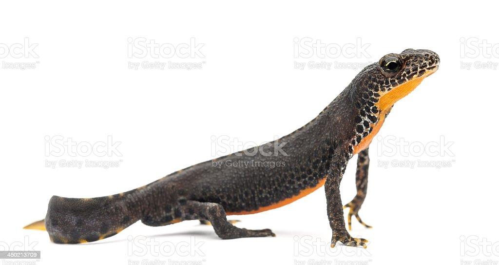 Alpine Newt, Ichthyosaura alpestris, stock photo