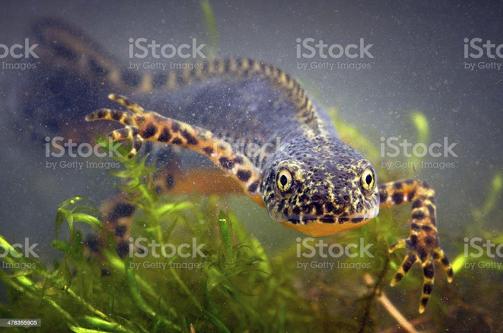 Alpine Newt stock photo