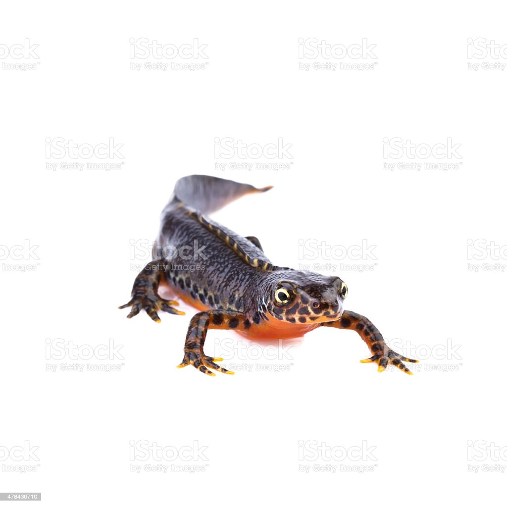 Alpine newt (Ichthyosaura alpestris,Triturus alpestris) stock photo