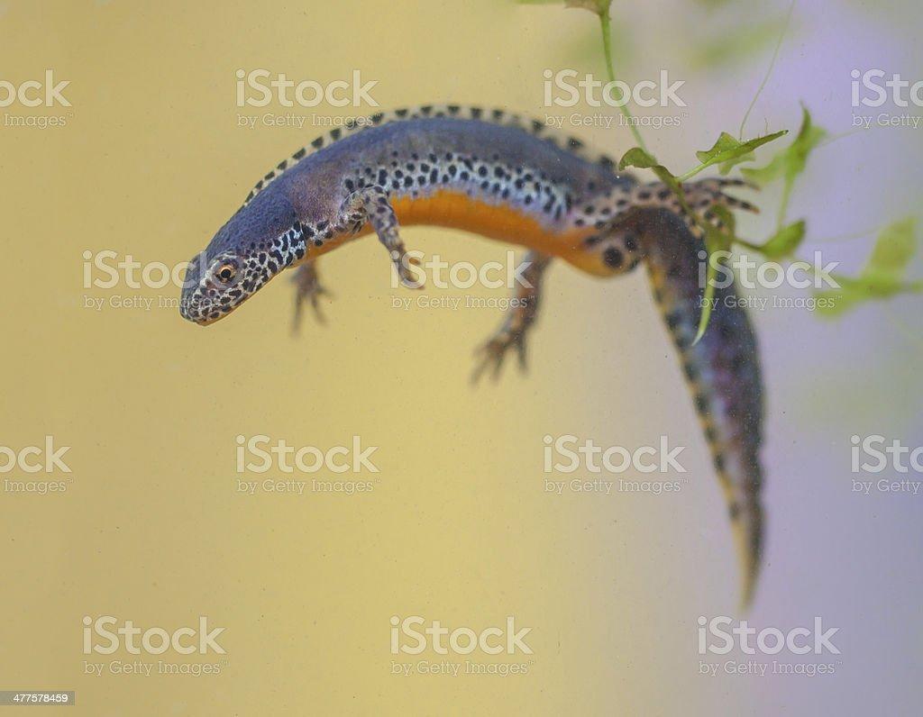 Alpine Newt ready to dive stock photo