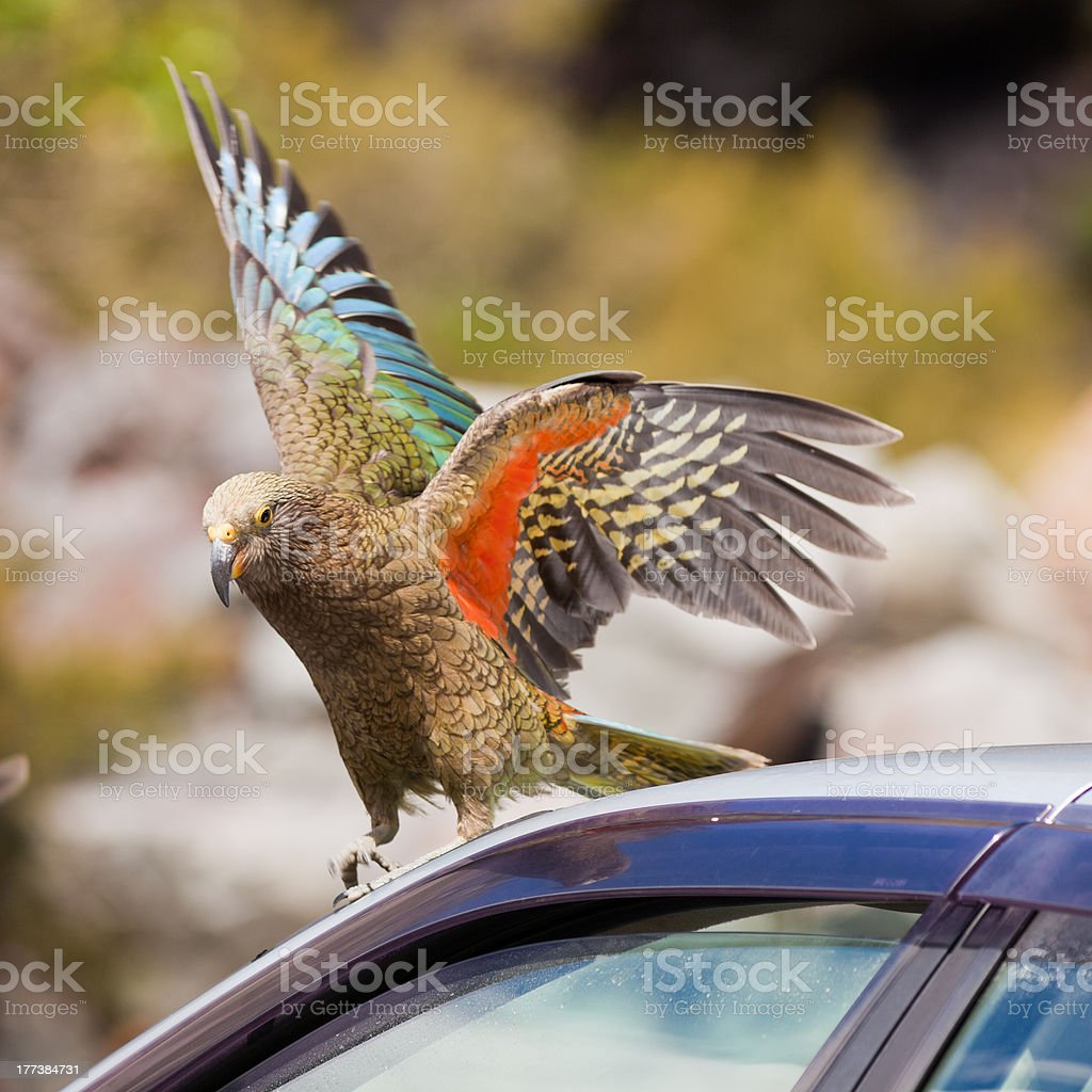 NZ alpine parrot Kea trying to vandalize a car royalty-free stock photo