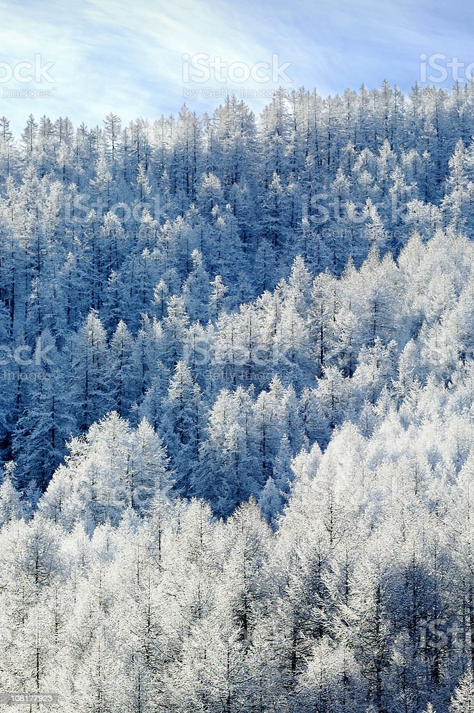 Alpine pines covered with white frost. stock photo