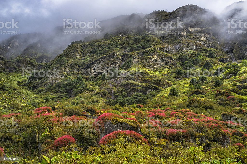 Alpine plants in bloom, Arunachal Pradesh, India. stock photo