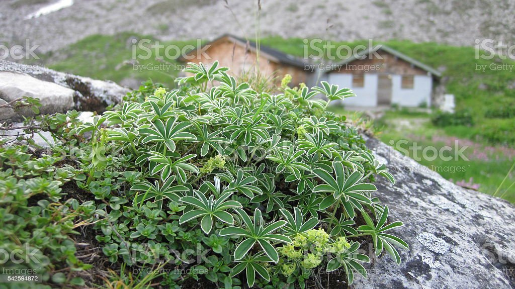 Alpine plants with huts in background stock photo