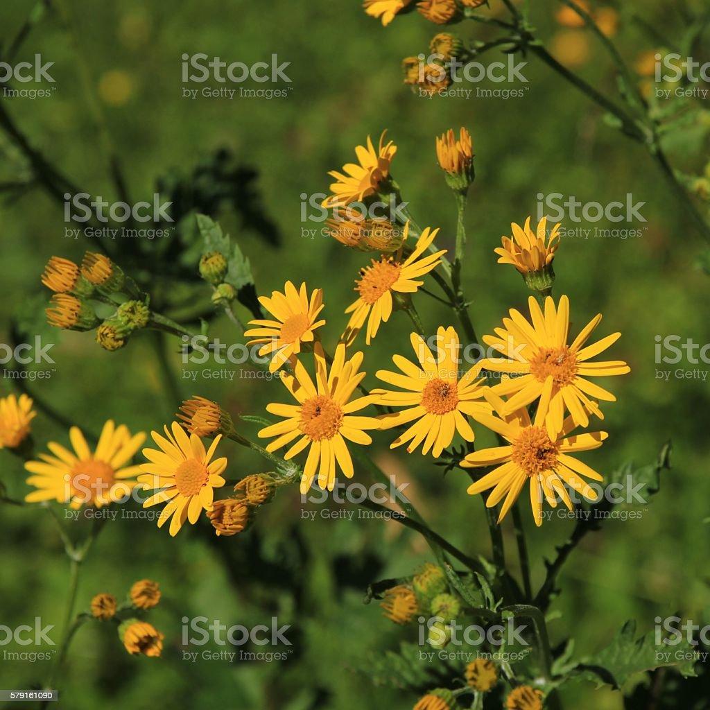 Alpine ragwort, yellow wildflower stock photo