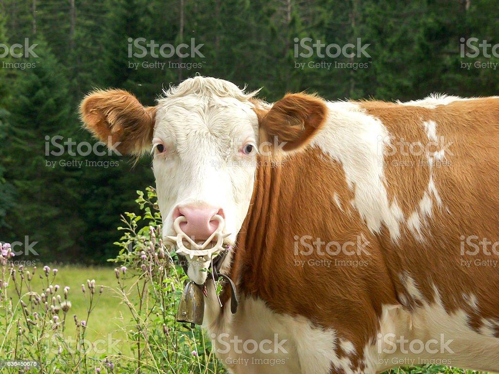 Alpine range fed dairy cow III stock photo