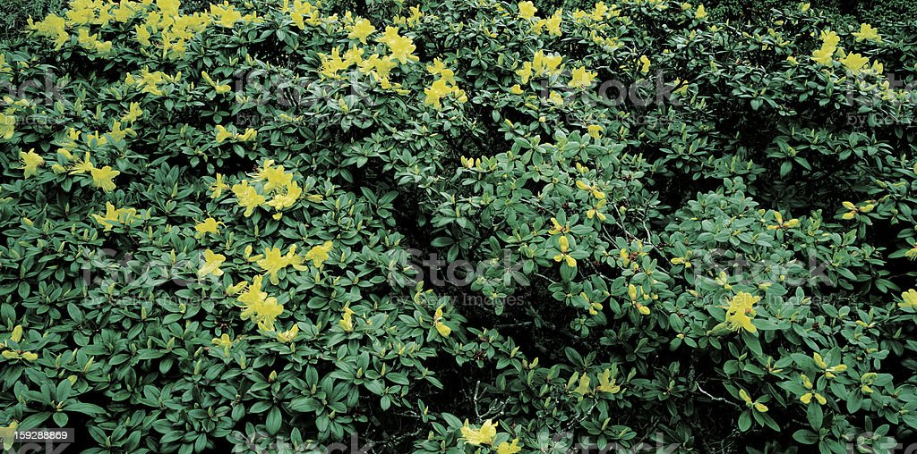 Alpine rhododendron royalty-free stock photo