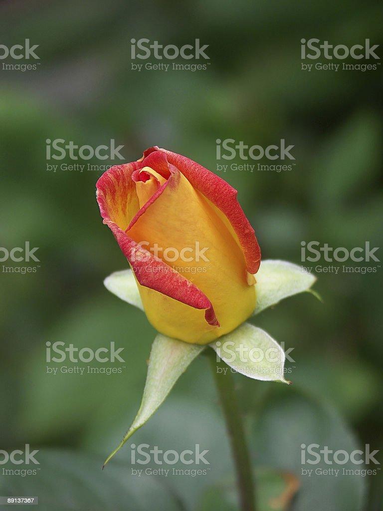 alpine rose 02 royalty-free stock photo