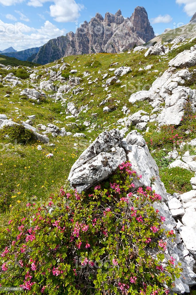 Alpine Rose in the Dolomites stock photo