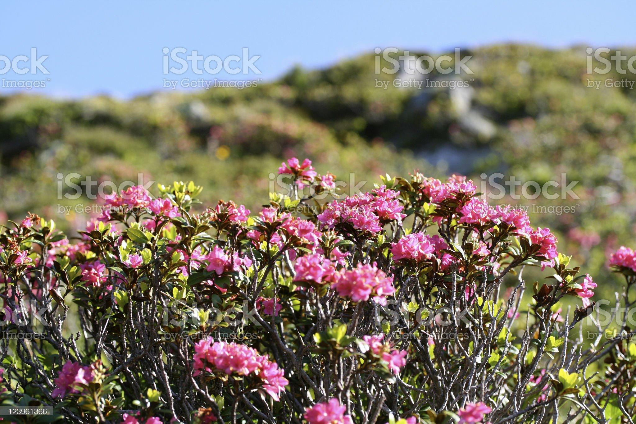 Alpine rose royalty-free stock photo