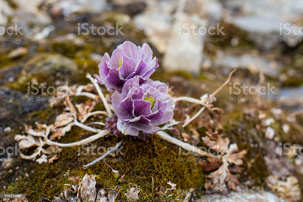 Alpine roses Mountain Flowers of the Alps stock photo